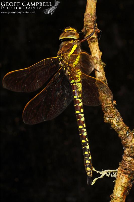 Moorland Hawker - Female (Aeshna juncea)