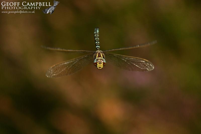 Moorland Hawker in Flight (Aeshna juncea)