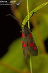 Narrow Bordered Five-Spotted Burnet