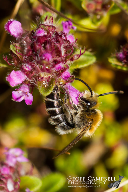 Northern Colletes (Colletes floralis)