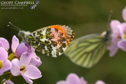 Orangetip & Green-veined White