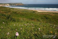 Orchids on White Park Bay