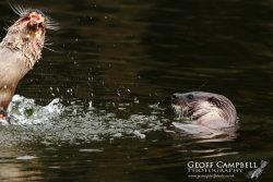 Otter Photo Bomb