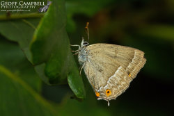 Purple Hairstreak