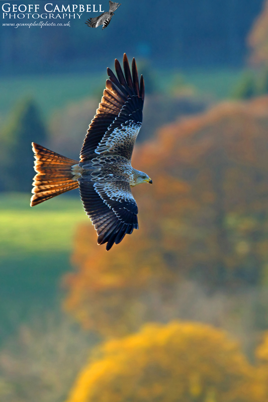 Autumnal Red Kite