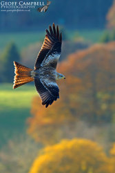 Autumnal Red Kite