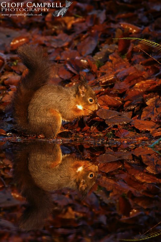 Red Squirrel Reflection