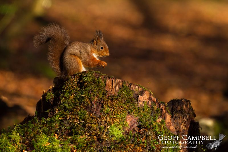 Red Squirrel in the Wood