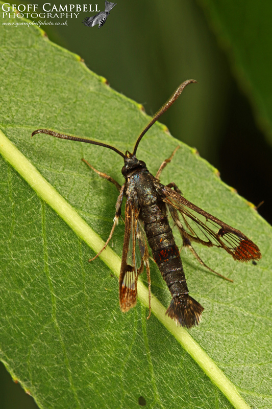 Red Tipped Clearwing