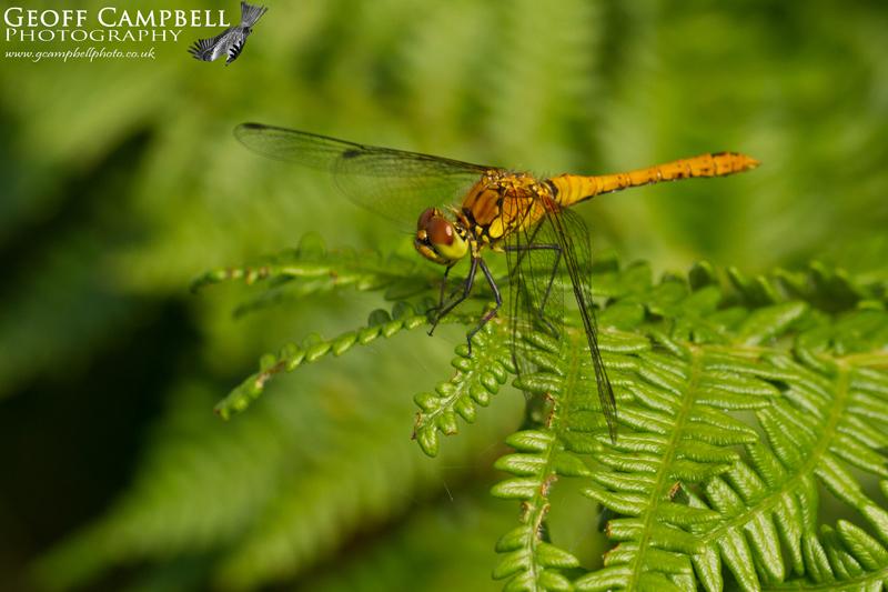 Ruddy Darter - Female (Sympetrum sanguineum)