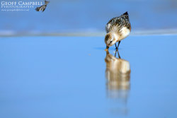 Sanderling Reflection