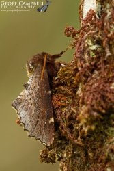 Scarce Prominent