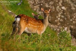 Sika Mother and Fawn