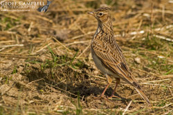 Skylark in Summer