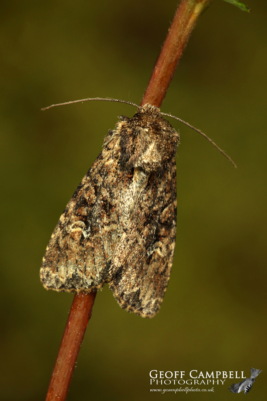 Small Clouded Brindle
