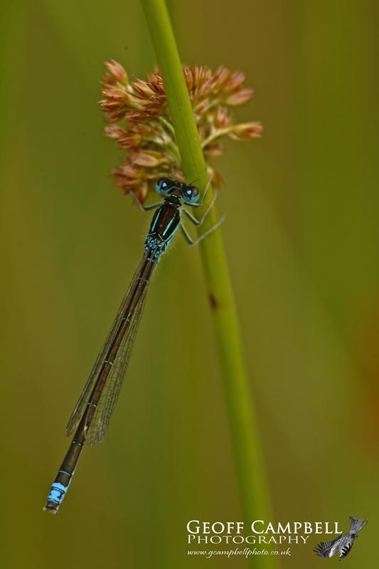 Scarce Blue-tailed Damselfly/Small Bluetip (Ischnura pumilio)