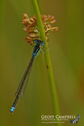 Small Blue-tip