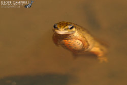 SmoothNewt - Female