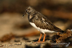 Turnstone - Bird Flu