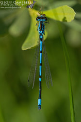 Variable Bluet