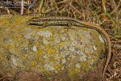 Vivipareous Lizard Sunbathing