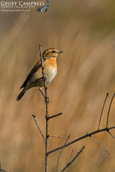 Whinchat - female