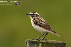 Whinchat - Male