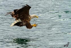 Hunting White-tailed Sea Eagle