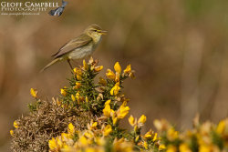 Willow Warbler in Song