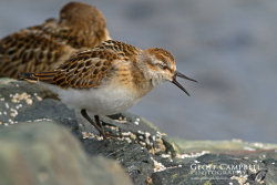 Yawning Little Stint
