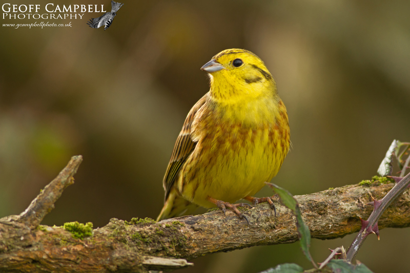 Yellowhammer - Male