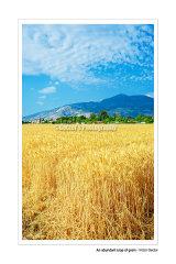 #D126S -  An abundant crop of grain.