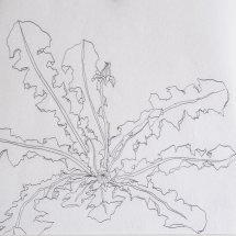 An Old Aquaintance (A Dandelion)