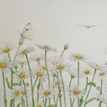 Butterflies and Ox-eye Daisies