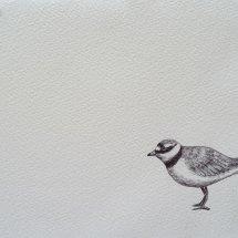 Little Ringed-Plover