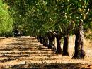 Olive tree line