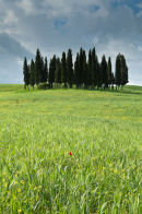 Clump of Trees in Tuscany