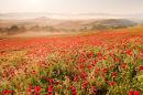 Poppy Field, Tuscany