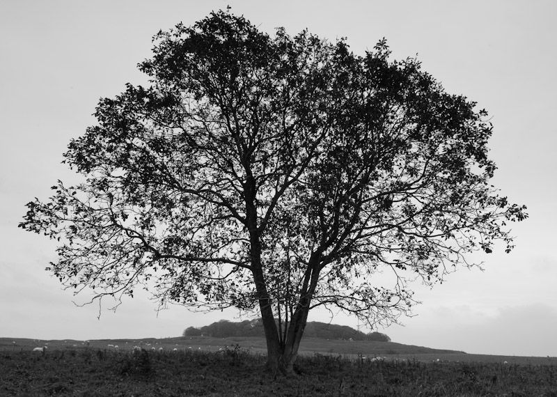 Tree, near Kingston Lacy