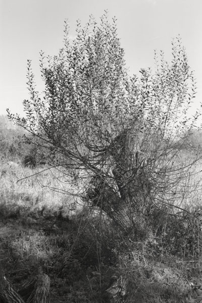 Willows 2076-2