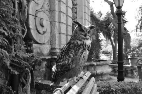Maltese Owl