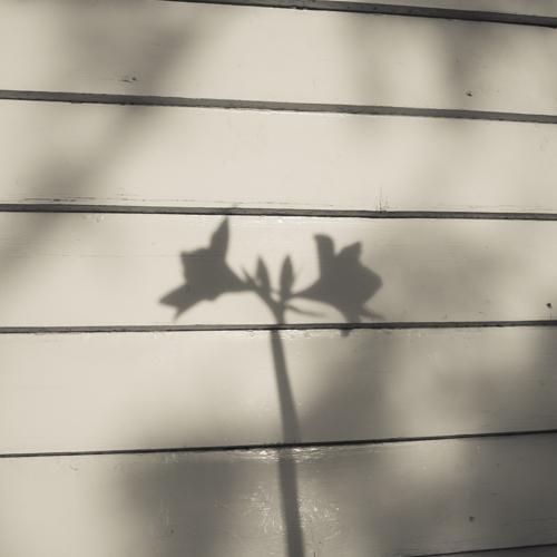 Hippeastrum shadow