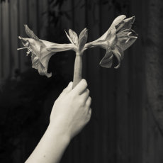 Hippeastrum and hand