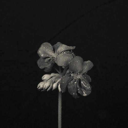 Geranium in the dark
