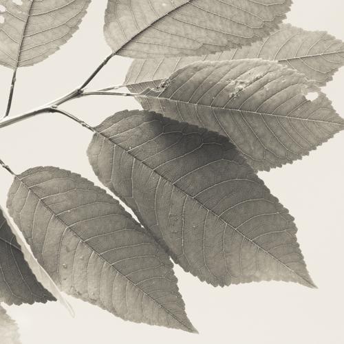 Cherry tree leaf