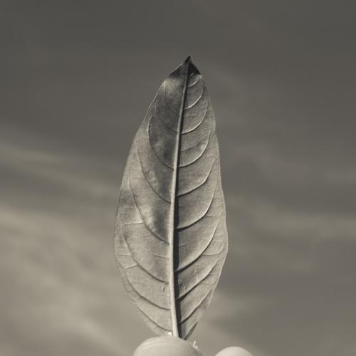 Jasmine leaf