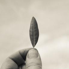Olive tree leaf