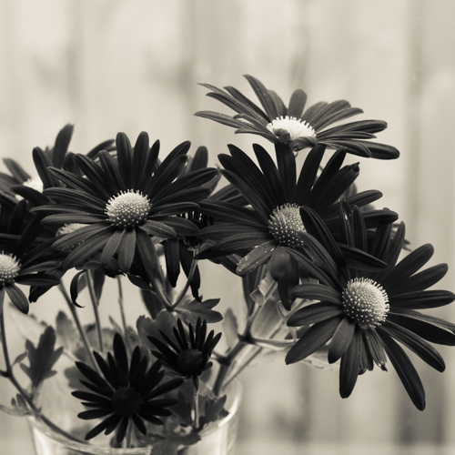 Chrysanthemum on windowsill