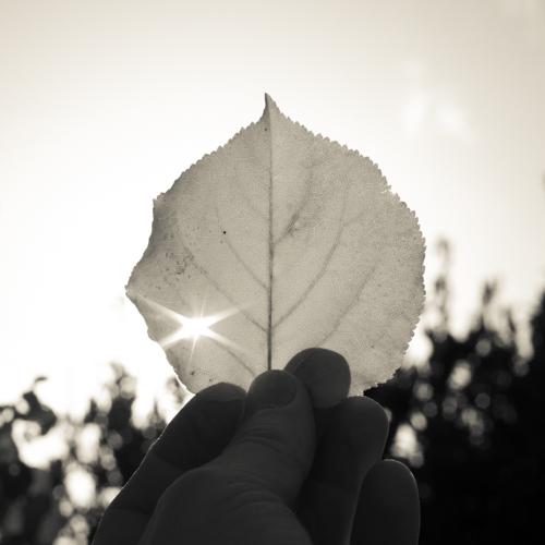 Apricot tree leaf