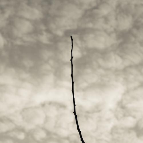 Plum tree branch